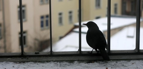 Amsel im Winter 1