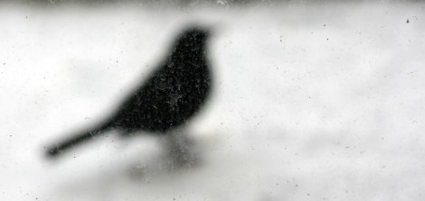Amsel im Winter 3